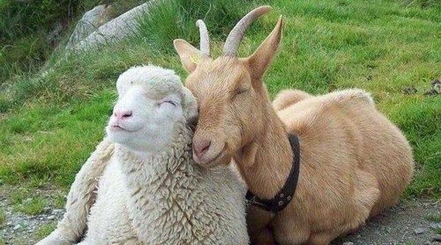 год козы фотографии