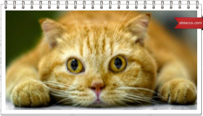 рыжий кот красивое фото